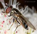 Syrphid - Platycheirus stegnus - female