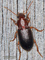Carabidae ? - Ophonus puncticeps