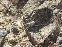 Mojave Desert spider that makes a