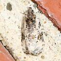 moth - Apotomis albeolana