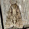 Speared Dagger Moth - Acronicta hasta - male
