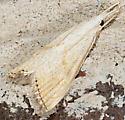 Moth to porch light - Haimbachia placidellus