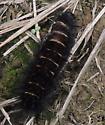 caterpillar - Spilosoma congrua