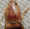 Conoderus lividus