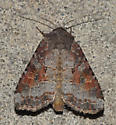 Striped Garden Caterpillar Moth - Trichordestra legitima