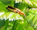 Margined Leatherwing? - Chauliognathus