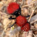 Red-haired Velvet Ant - Dasymutilla aureola - female