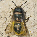 Mites on Mason Bee - Osmia lignaria - female