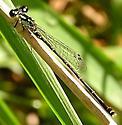 Fagile Forktail - Ischnura posita - male