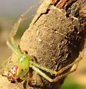 crab spider - Diaea livens