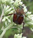 flower scarab - Trichiotinus rufobrunneus