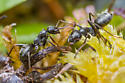 ants - Formica podzolica