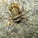 Barklouse - Mesopsocus