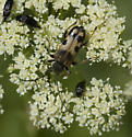 Umbelliferous flower full of beetles - Xestoleptura tibialis