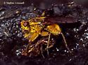 Golden Dung Flies Mating, Scatophaga stercoraria - Scathophaga stercoraria - male - female