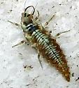 Lacewing Larva?