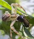 crab spider and Ripiphorus - Mecaphesa
