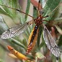 Crane fly - Tipula californica - female