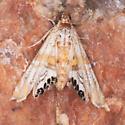 #4772 - Petrophila cappsi - Petrophila cappsi