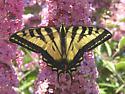 Western Tiger Swallowtail  Papilio rutulus - Papilio rutulus - male
