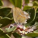 Callophrys gryneus siva?