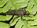 Robber Fly - Machimus notatus - female