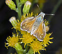 Common or Lindsey's? - Hesperia lindseyi