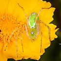 Peucetia viridans - Green Lynx Spider? - Peucetia viridans