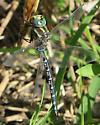 dragonfly - Aeshna constricta