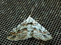 9/27 moth - Iridopsis defectaria