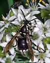 Bald-faced Hornet - Dolichovespula maculata - female