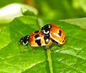 Lady Beetle (Coccinellidae) - Adalia bipunctata - male - female