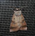 Moth ID help... - Agnorisma badinodis
