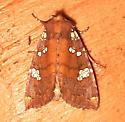 Brick-red Borer Moth - 9492 - Papaipema marginidens