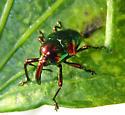Eurhinus magnificus -- green immigrant leaf weevil - Eurhinus magnificus