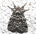 Black Zig-zag 5.20.12 - Panthea acronyctoides