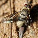 Villini - Rhynchanthrax - female