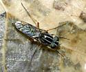 Diptera - Pherocera flavipes