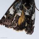 Tarache flavipennis