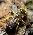 Calliopsis andreniformis - male