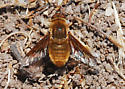 Orange County Bee Fly Archives: Is this Chrysanthrax? - Paravilla fulvicoma