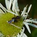 Unidentified bug - Plagiognathus