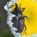 Weevil on Fleabane - Odontocorynus salebrosus