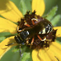 Beewolf on Rudbeckia - Philanthus ventilabris