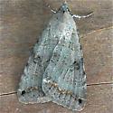 Bulia deducta-female - Bulia deducta - female