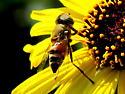 bee mimic fly  - Eristalinus taeniops