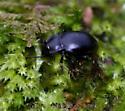 Tenebrionidae? - Metrius contractus