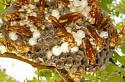 Polistes apachus, Paper Wasp ? - Polistes apachus