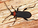 longhorn beetle - Ropalopus sanguinicollis