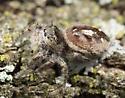 Salticid - Phidippus insignarius - female